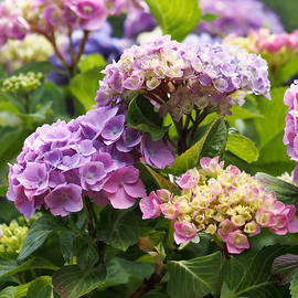 Rona Black - Colorful Hydrangea Blossoms
