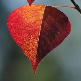 Aaron Rushin - Colorful Leaf