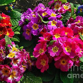 Kaye Menner - Colorful Spring Primrose by Kaye Menner