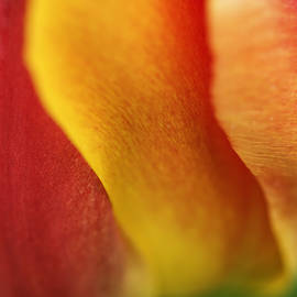 Vishwanath Bhat - Colorful Tulip closeup Abstract
