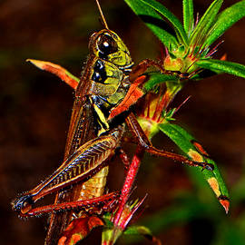 George Bostian - Colors Of Nature - Grasshopper 003