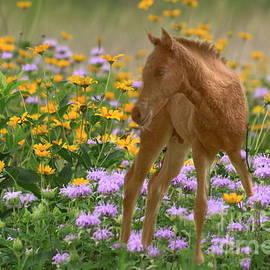 Myrna Bradshaw - Colt in the flowers
