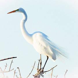 Deb Henman - Common Egret in White