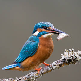 Phil Stone - Common Kingfisher 1