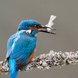 Phil Stone - Common Kingfisher in the UK