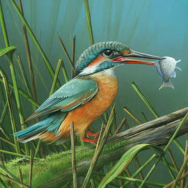 Mike Brown - Common Kingfisher