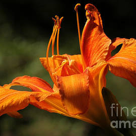 Vickie Emms - Common Orange Day Lily