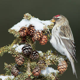 Gerry Sibell - Common Redpoll