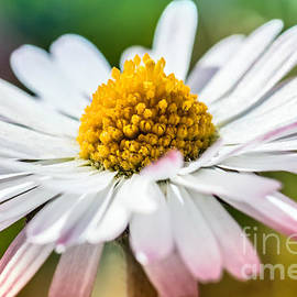 Gregory DUBUS - Common small daisy white and yellow flower macro side view