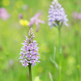 Common Spotted Orchid - Tim Gainey