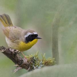 Angie Vogel - Common Yellowthroat