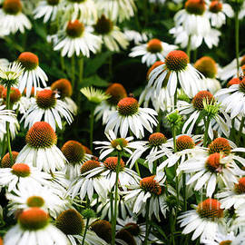 Tracy  Hall - Cone Flowers