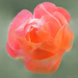 Kathy Franklin - Coral Miniature Rose
