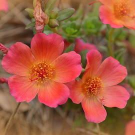 Linda Covino - Coral roses