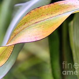 Janice Drew - Corn Leaf