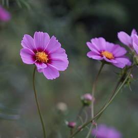 Carrie Goeringer - Cosmos Flowers