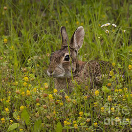 Robert Frederick - Cottontail In Yellow Clover