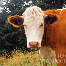 Cow in Pasture - MGL Meiklejohn Graphics Licensing