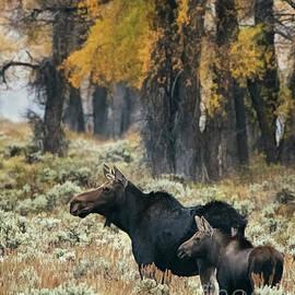 Priscilla Burgers - Cow Moose and Calf at Grand Teton National Park