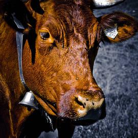 Cow Portrait - Frank Tschakert