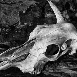 Sandra Selle Rodriguez - Cow Skull