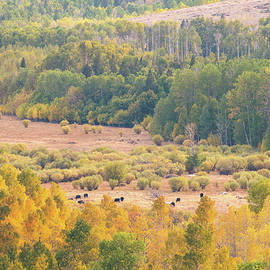 Alexander Kunz - Cows grazing among fall-colored Aspens