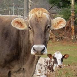 MTBobbins Photography - Cows Looking