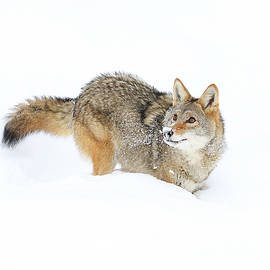 Steve McKinzie - Coyote in White