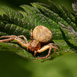 Judith Groeger - Crab Spider Waiting