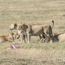 Pravine Chester - Crater lions of Ngorongoro