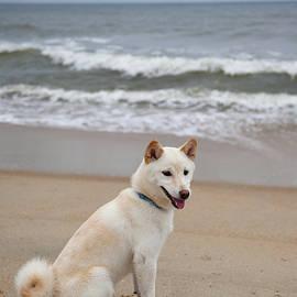 Amy Jackson - Cream Shiba Inu at the Beach