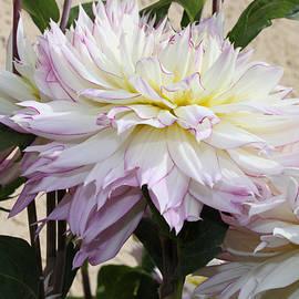 Sandra Foster - Creamy Dahlias With Lavender Fringed Petals