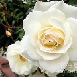 Wonju Hulse - Creamy roses
