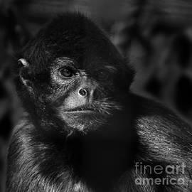 Paul Davenport - critically endangered Black Spider Monkey 2