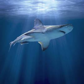 Liz Molnar - Cruising Shark