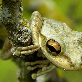 Chris Mercer - Cuban Tree Frog