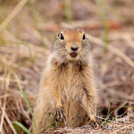 Stephan Pietzko - Curious Arctic ground squirrel Urocitellus parryii