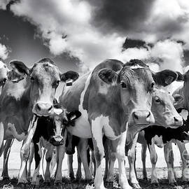 Curious Cows - Tim Gainey