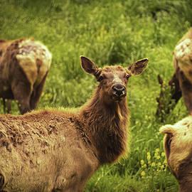 Jennifer Ancker - Curious Elk