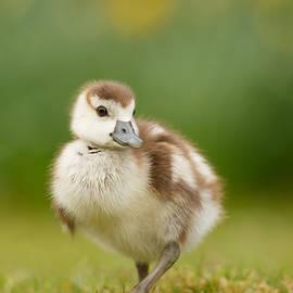 Roeselien Raimond - Cute Gosling