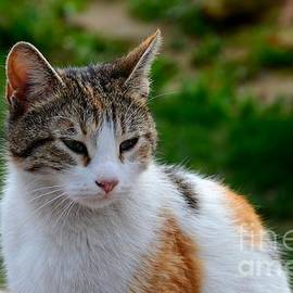 Imran Ahmed - Cute grey white and orange cat poses and gazes