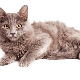 Cute Kitten Laying Over White Loking Forward - Susan Schmitz
