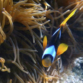 Johanna Hurmerinta - Cute little Clownfish 3