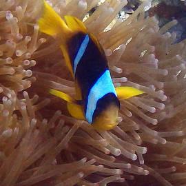 Cute little Clownfish