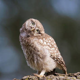 Roeselien Raimond - Cute, moi? - Baby Little Owl