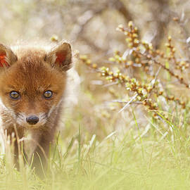 Roeselien Raimond - Cute Overload - Baby Fox Kit