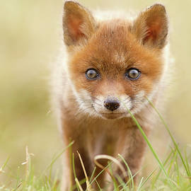 Cute Overload - Red Fox Kit - Roeselien Raimond