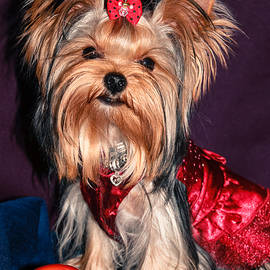 Cute Yorkie Puppy in Red Dress