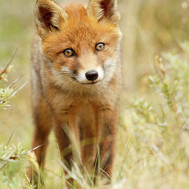 Roeselien Raimond - Cute Young Red Fox Cub