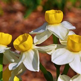 George Bostian - Daffodil 006